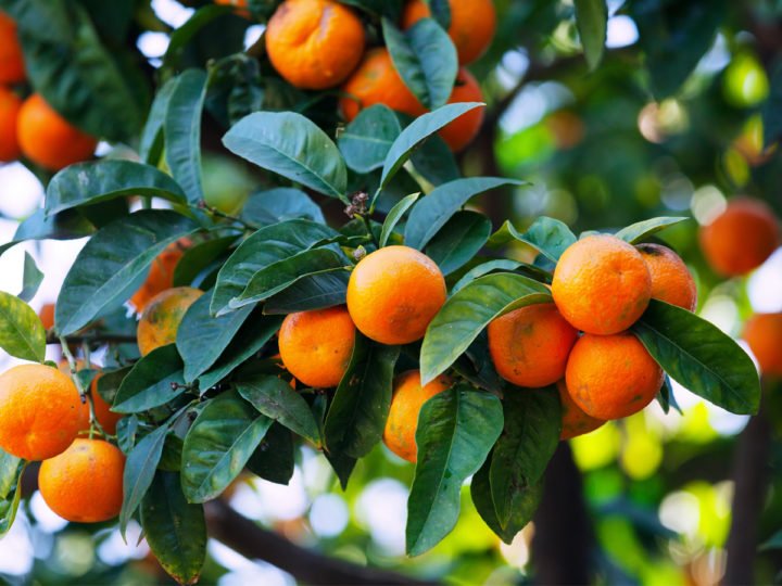 Oranges are best in cold season